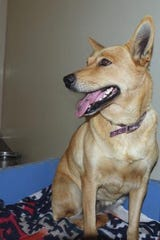Sadie is a very quiet 6-year-old Red Heeler mix.