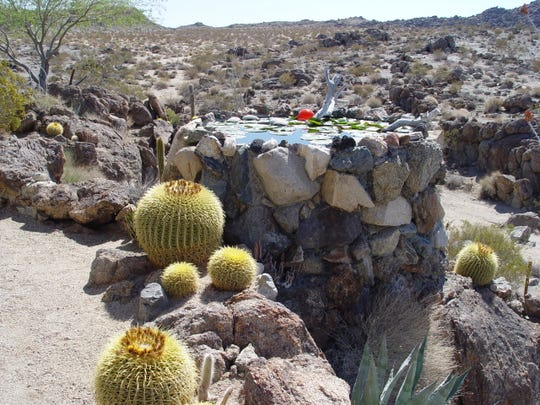 Yes, you can grow water lilies in koi ponds in the desert when provided with adequate care.