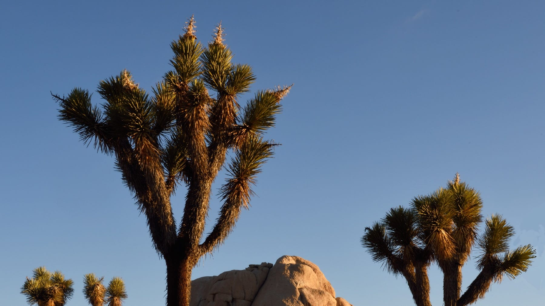 That viral photo of a cut-down Joshua tree? The damage was pre-shutdown, experts say