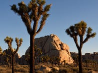 Conservationists seek to protect California Joshua trees from climate change