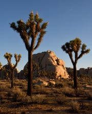 Joshua trees can be seen at Joshua Tree National Park.
