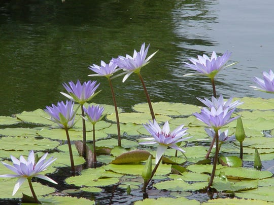 Rare, blue water lilies can be appreciated up close at the reflecting pond's edge.