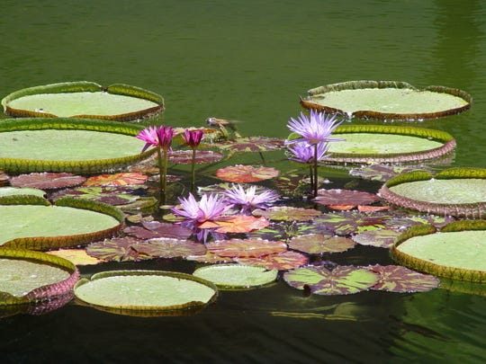 In the reflecting pool, giant Amazon water lilies are grown along with ordinary hybrids, colorful enough to attract painters.
