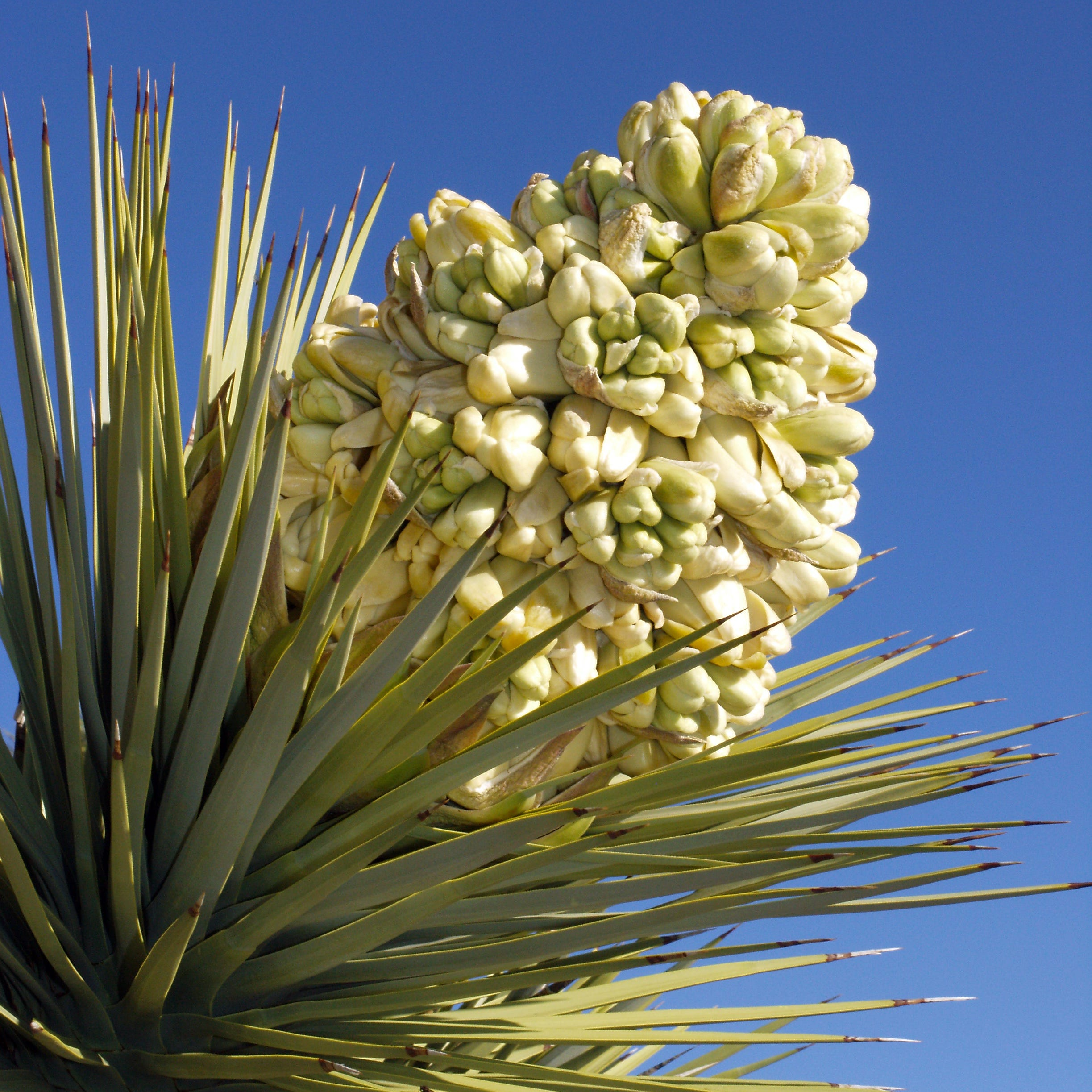 Joshua trees are blooming early in the desert. It's not a good thing — you can thank climate change