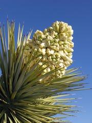 Joshua Tree in early bloom