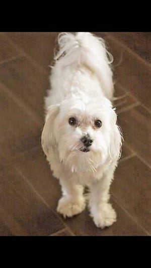 Elkie, a beloved Maltese dog, went missing from his Navarre home on Dec. 6. His family, including his beloved 7-year-old autistic human sister Loly, are desperately searching for him.