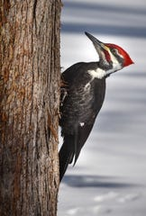 A pileated woodpecker sits on a tree at Sauk Rapids, Minn.