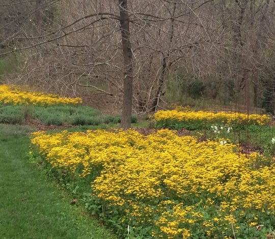 Golden ragwort makes a carpet of yellow in the spring landscape.