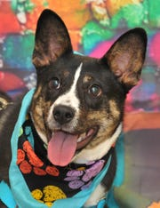 Axle is a 7-month-old, male, Corgi/mix, that is looking for his new home. He is super good natured and gets along with everybody. You can find Axle and his friends at the City of Wichita Falls Animal Services Center located on Hatton Rd.