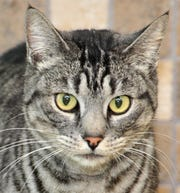 Handsome is an 18-month-old, grey Tabby, male cat that is looking for his forever home. He is neutered, gets along mostly with everyone, other cats are questionable. You can find Handsome with his friends at the City of Wichita Falls animal Center located on Hatton Rd.