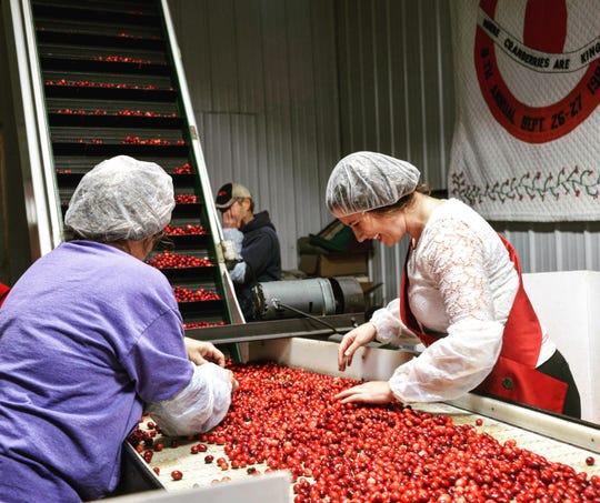 Alice in Dairyland Kaitlyn Riley helps sort fresh cranberries.