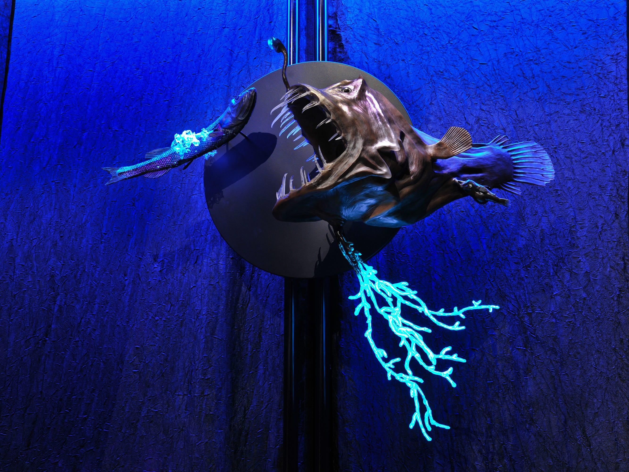 """Part of the """"Creatures of Light: Nature's Bioluminescence"""" exhibit, a female anglerfish has her own built-in fishing rod: a modified dorsal fin spine topped with a lure that pulses with bacterial light."""