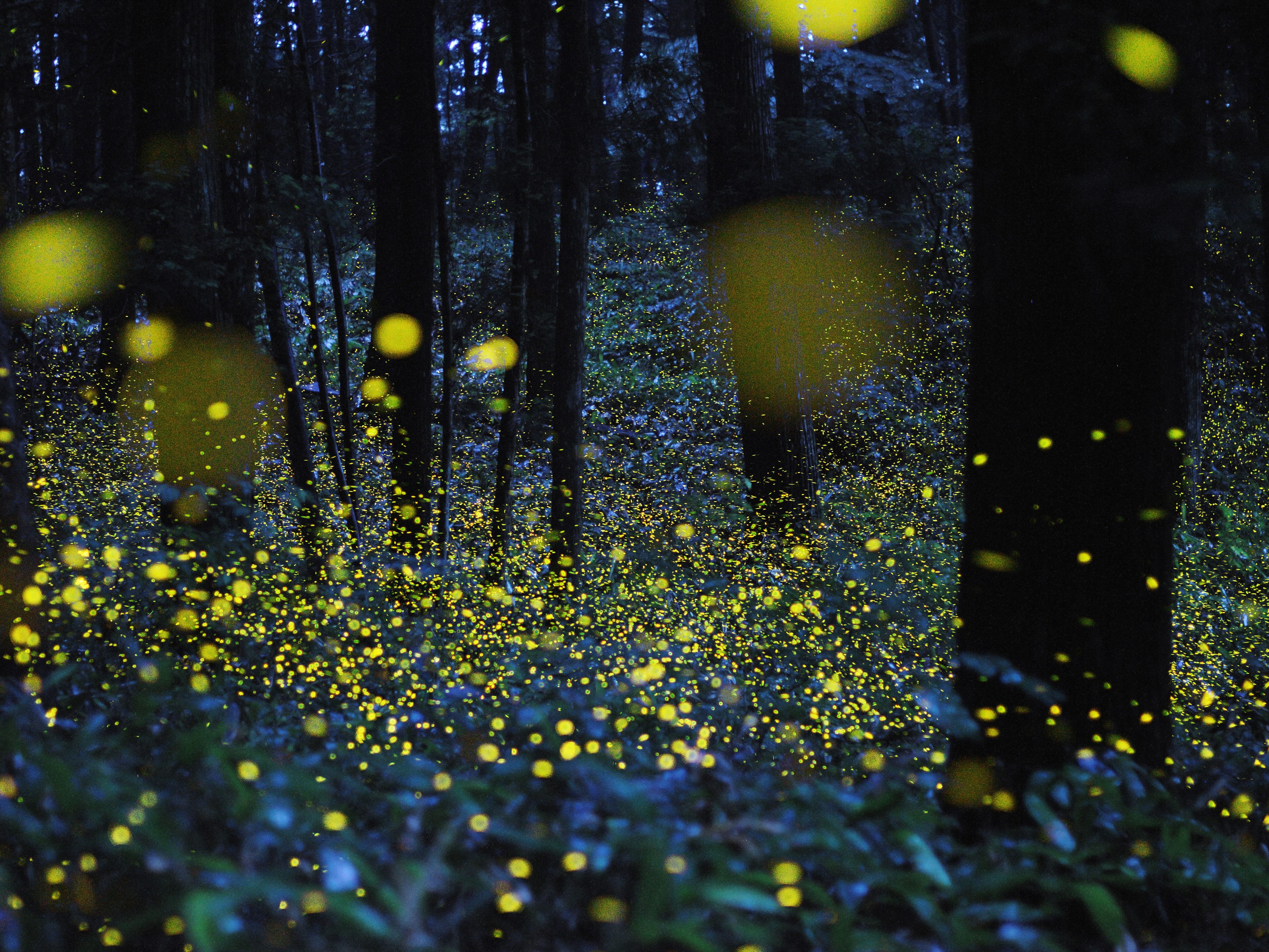 """From fireflies lighting up the summer nights to glowing deep-sea dwellers, bioluminescent creatures are the focus of """"Creatures of Light: Nature's Bioluminescence"""" at the Phillip and Patricia Frost Museum of Science in Miami. Here, photographer Tsuneaki Hiramatsu combined slow–shutter speed photos to produce images of firefly signals."""