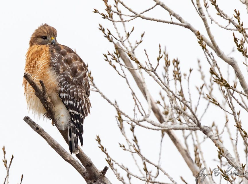A Red-shouldered Hawk in a neighborhood near the Mall of Abilene. This species is most commonly found along creeks and rivers.