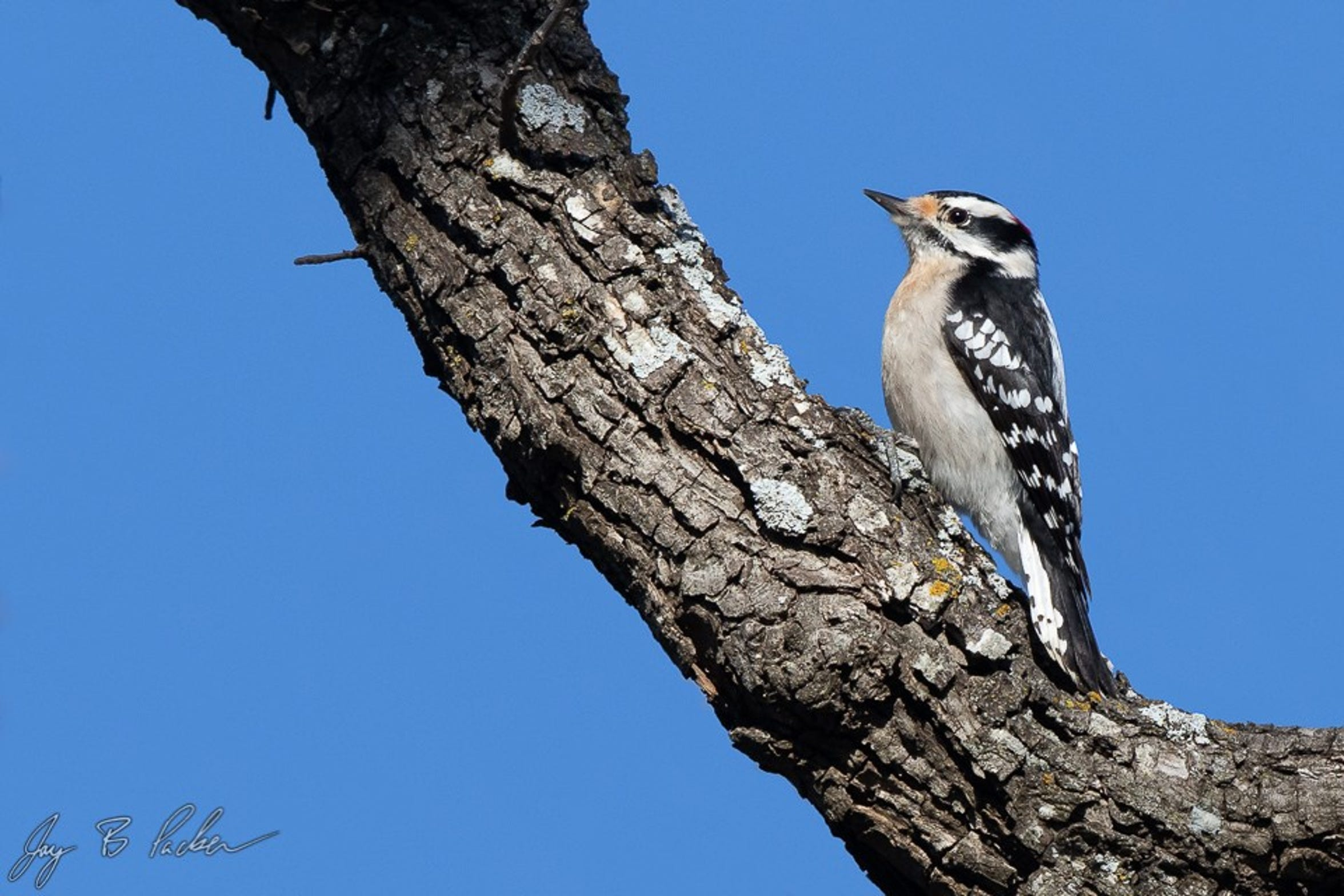 A Downy Woodpecker at Abilene State Park. This little woodpecker likes taller trees like pecans.