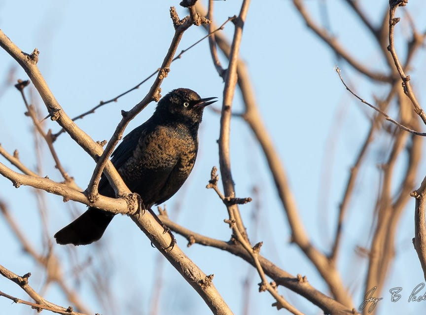 "A Rusty Blackbird, taken on county roads northeast of Abilene. The first example recorded ever in Taylor County, and one of the best birds birder Jay Packer has found so far in his ""Big Year"" of cataloging Taylor County species as a fundraiser for Kirby Lake."