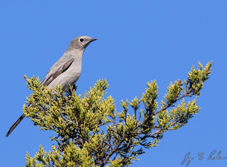 A  Townsend's Solitaire on private property. This bird of the mountainous western U.S. is likely more common than normally thought, but it's a juniper-devouring specialist and only occurs in the hills of the Callahan Divide during winter and migration.