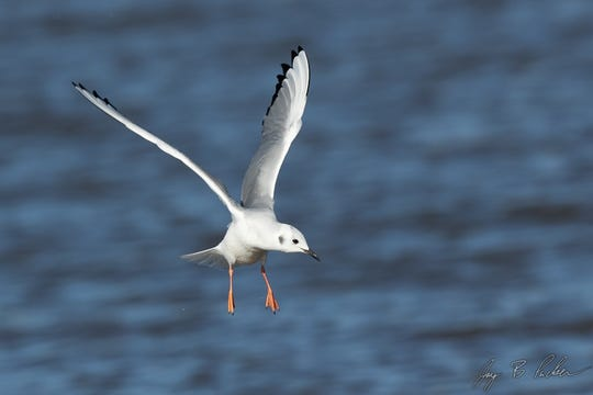 A Bonaparte's Gull at Kirby Lake. Smaller and far less numerous than its larger cousin, the Ring-billed Gull.