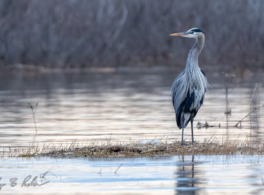 A Great Blue Heron at Kirby Lake. This species is one of the common large birds around lakes and ponds.