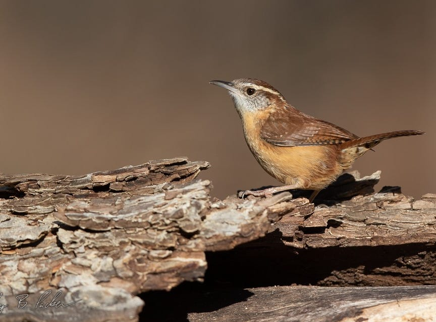 A  Carolina Wren found at Abilene State Park. A common bird that's heard more often than seen.