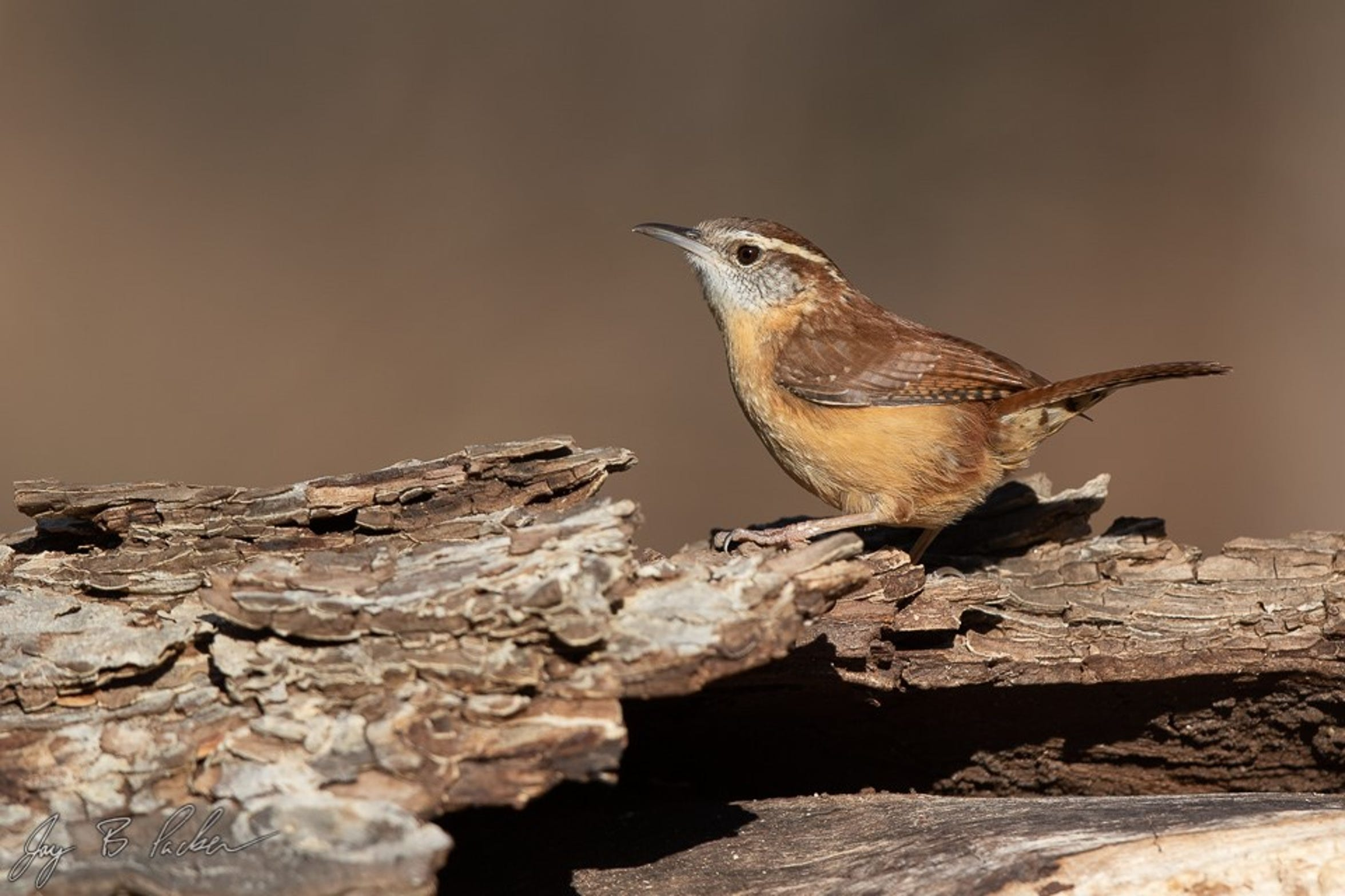 A  Carolina Wren found at Abilene State Park. A common bird that's heard more often than seen.