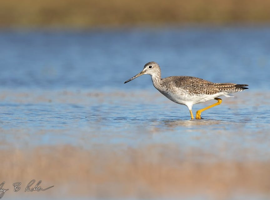 A Greater Yellowlegs near Potosi. This long-legged wader is one of the few shorebirds that stays all winter.