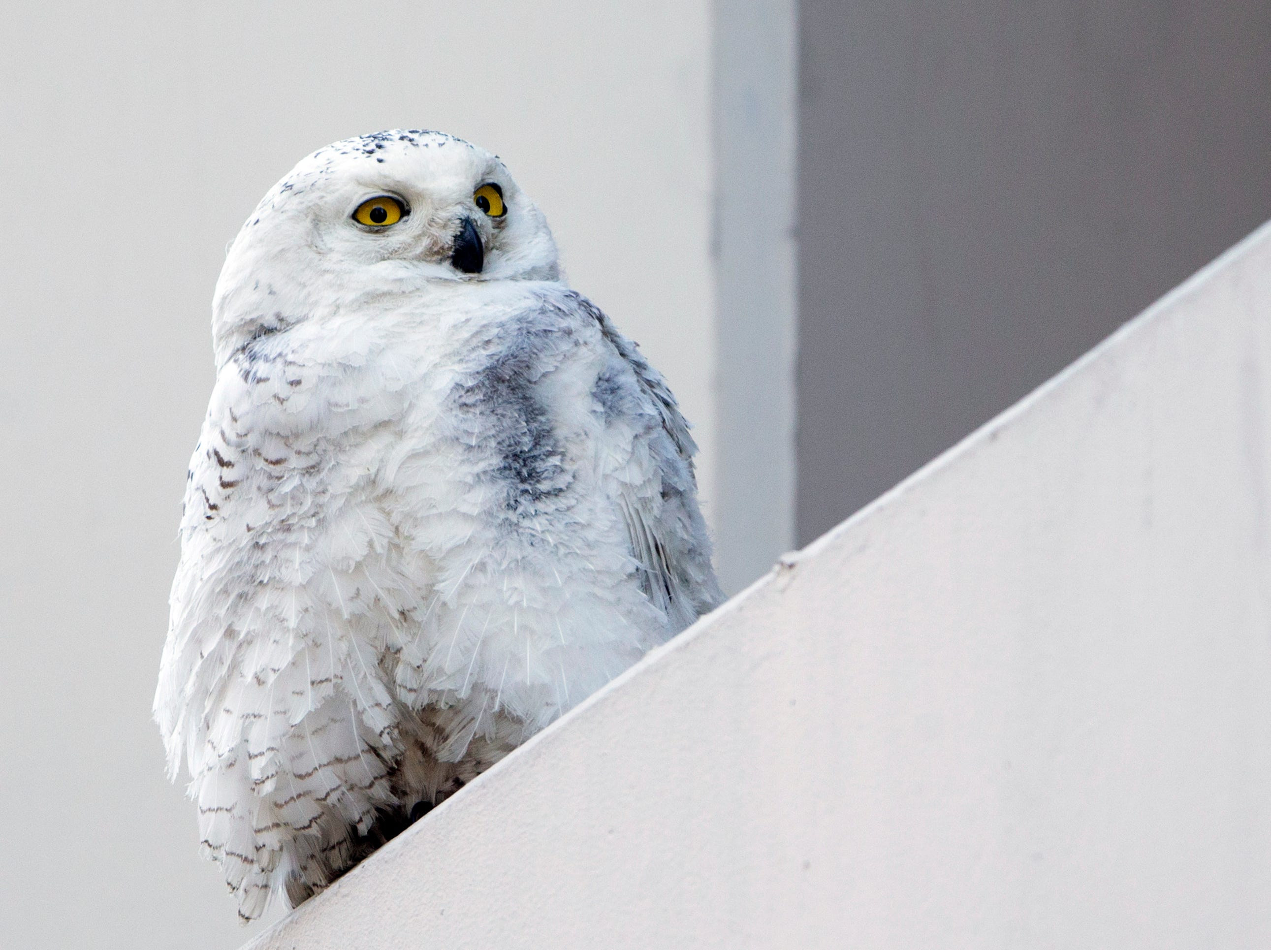 In this Jan. 24, 2014 file photo, a snowy owl rests on a ledge of a building in Washington. Reports from tens of thousands of bird-counting volunteers show a southern invasion of Arctic-dwelling snowy owls has spread to 25 states, and frigid cold is causing unusual movements of waterfowl.