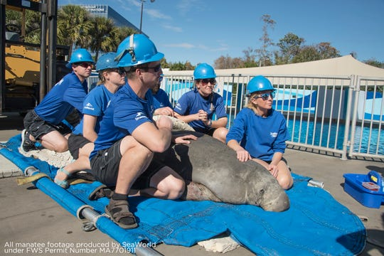 The SeaWorld Rescue team, on-call 24/7, 365 days a year, tends to a 725-pound sub-adult manatee suffering from hypothermia.