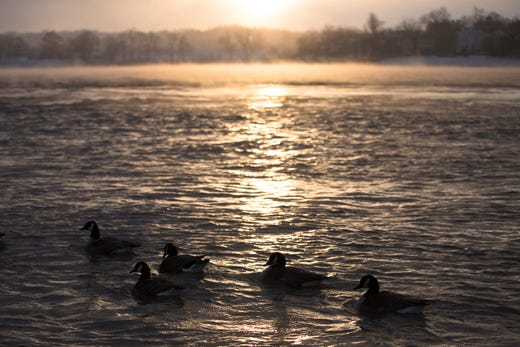65b83e50 Canadian geese swim in the Ohio River on Wednesday, Jan. 30, 2019,