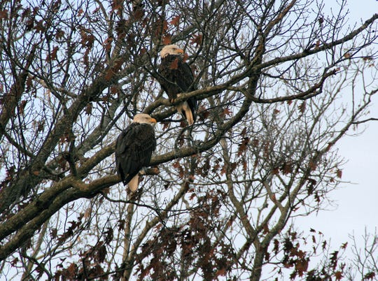 Eagles photographed at Land Between the Lakes National Recreation Area during an eagle cruise.