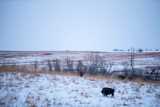 Buffalo graze in their enclosure at the Neal Smith National Wild Life Refuge on a very cold Tuesday evening, Jan. 29, 2019. The National Weather Service has predicted a low temperature of -22 overnight in Central Iowa.