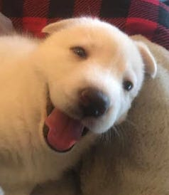 The dog is a female all-white Husky German Shepherd with blue eyes.