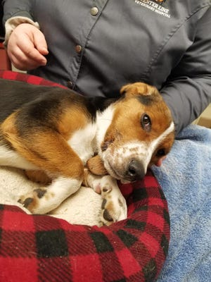 An animal rescue group called for prayers and funds Tuesday night after this beagle was found with frostbitten back legs and paws in Detroit.