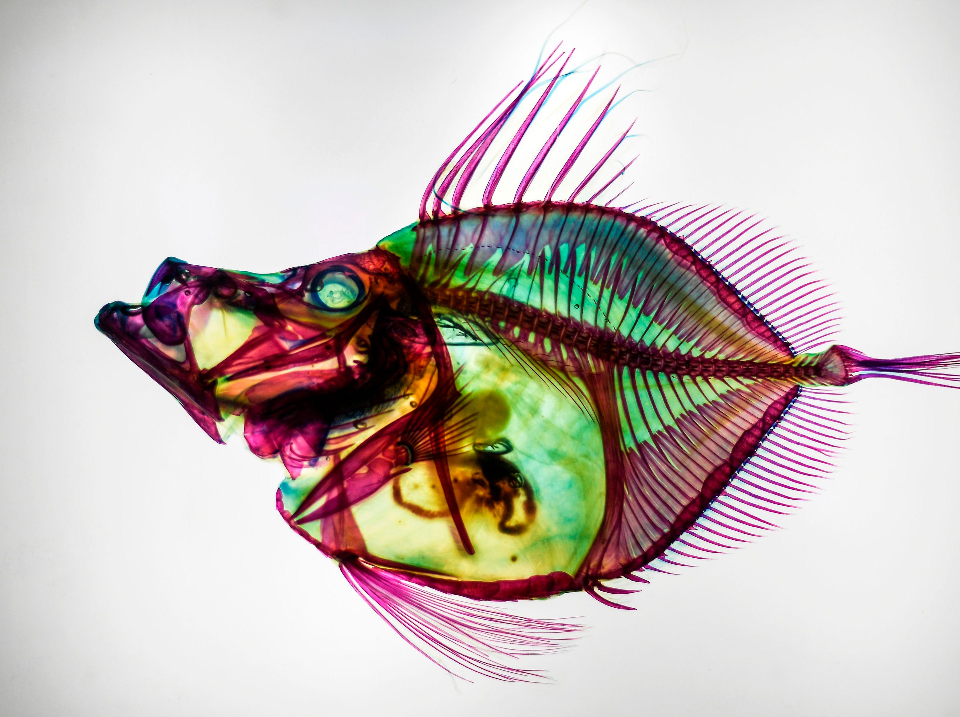 A discolored Zenopsis Nebulosa, or Mirror Dory, with muscles digested by the enzyme and their bones and cartilages colored by chemicals, is displayed during the Transparent Fish Exhibition at the Aquaria KLCC in Kuala Lumpur on Jan. 30, 2019.