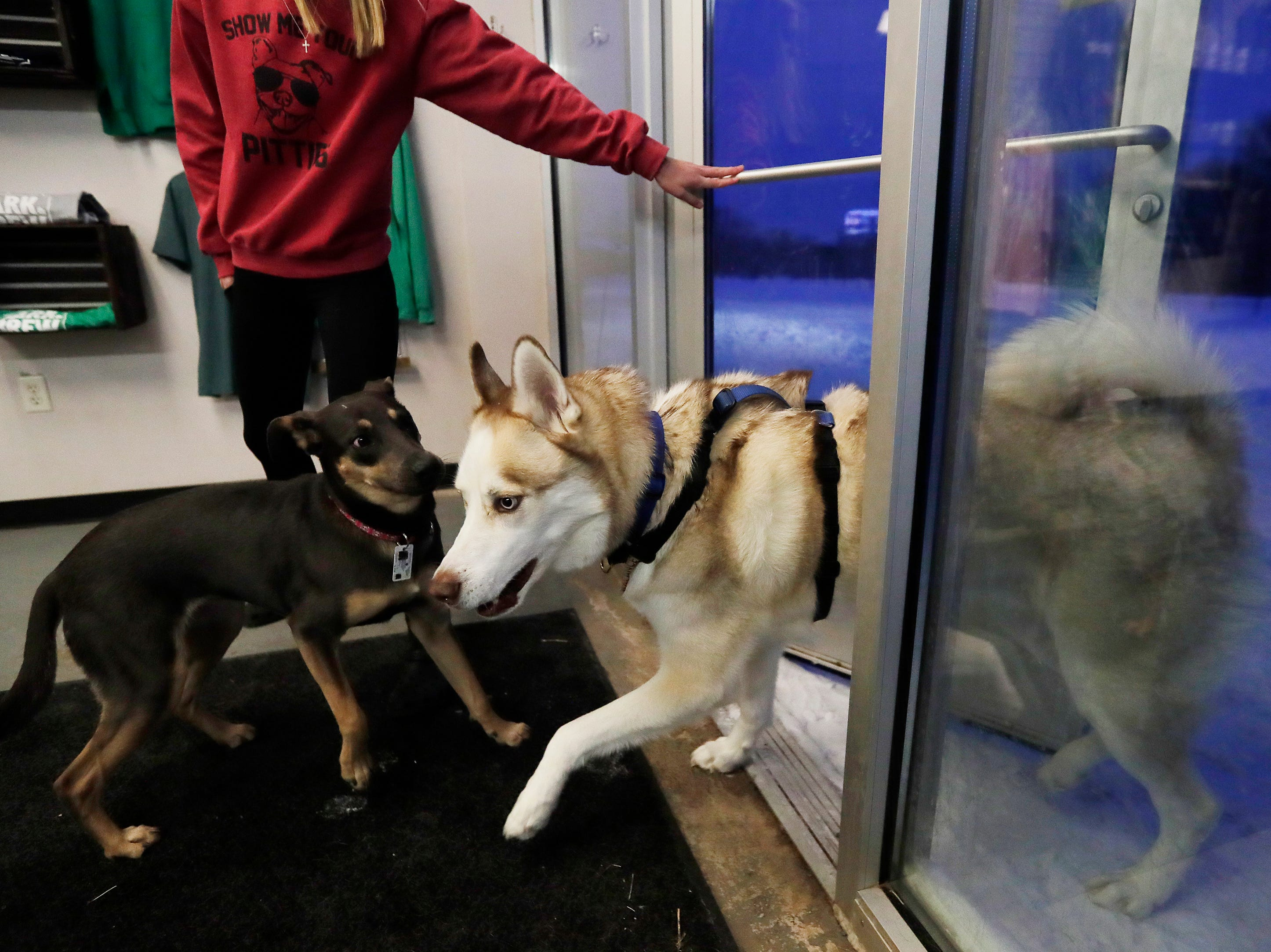 Dogs are let inside from the outdoor exercise area at Bark and Brew on Tuesday, Jan. 29, 2019, in Suamico, Wis.