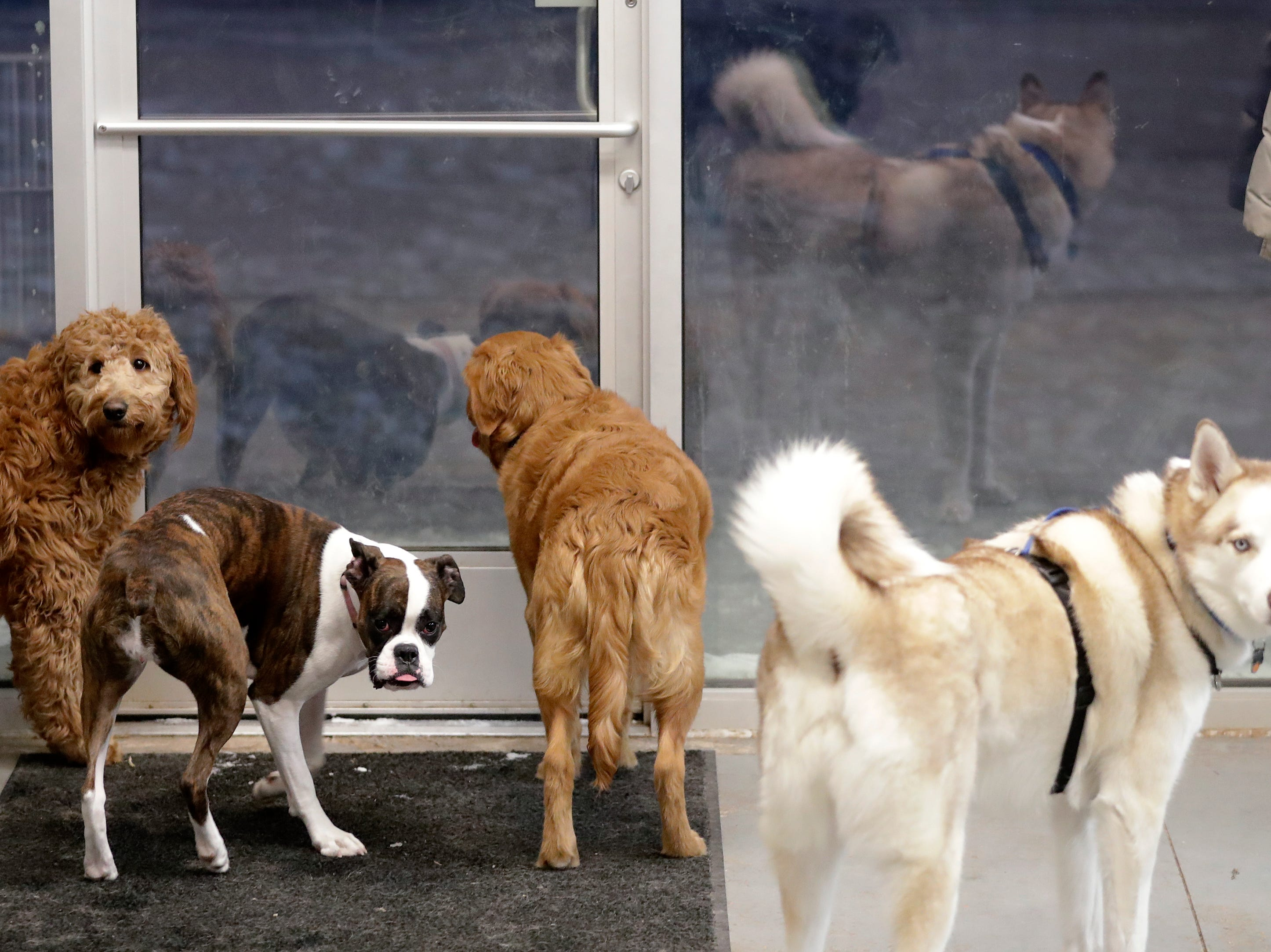 Dogs wait to be let outside at Bark and Brew on Tuesday, Jan. 29, 2019, in Suamico, Wis.