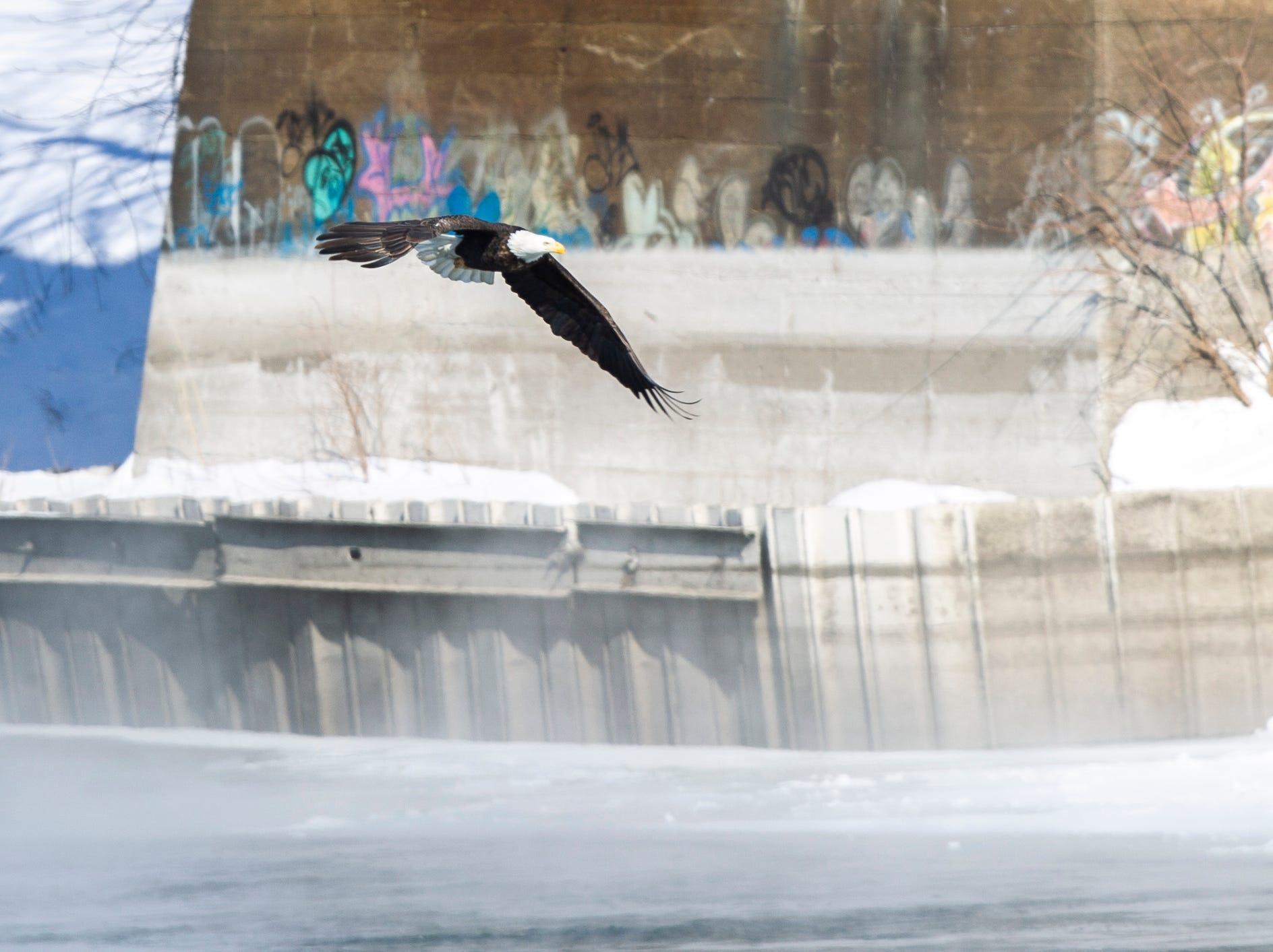 A bald eagle flies over the Iowa River on Wednesday, Jan. 30, 2019, in Iowa City, Iowa.