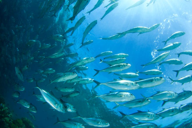 Trevally fish also known as Jackfish