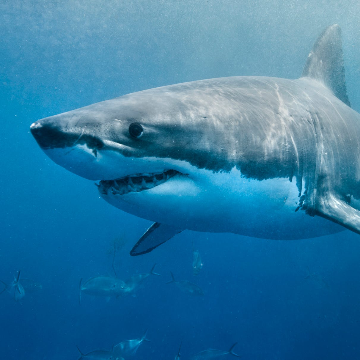 Great white shark Cabot surfaces off Delaware while roaming the Atlantic
