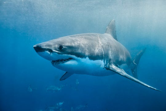 Cabot, a great white shark similar to this one, surfaced off Delaware on May 14.