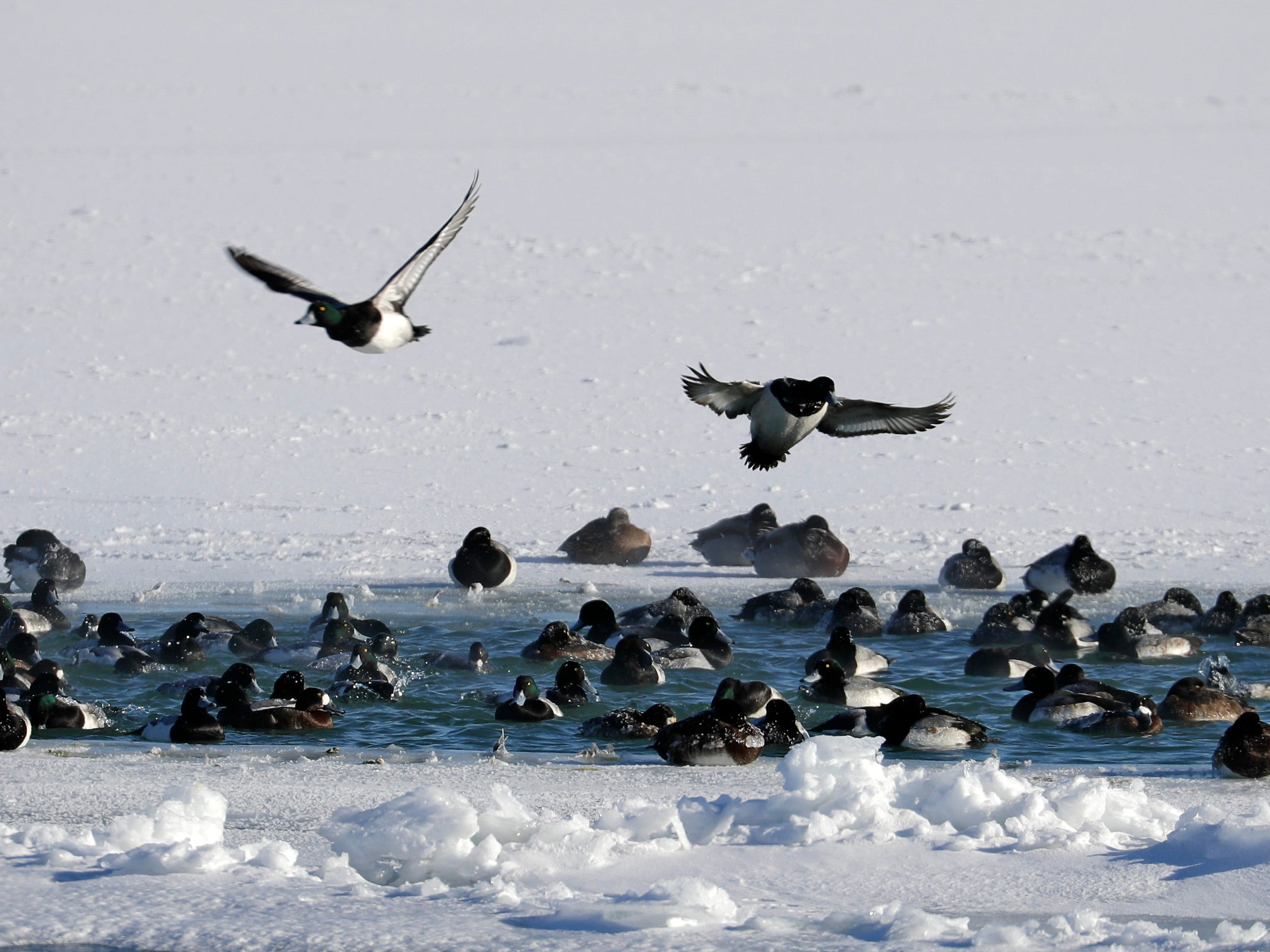Ducks gather at a small warm patch of water at the mouth of the Milwaukee River where it empties into the harbor of Lake Michigan. A polar vortex brought extremely cold weather to Milwaukee with temperatures in the minus 20s and wind chills between 40 below and 50 below over the next 24 hours.