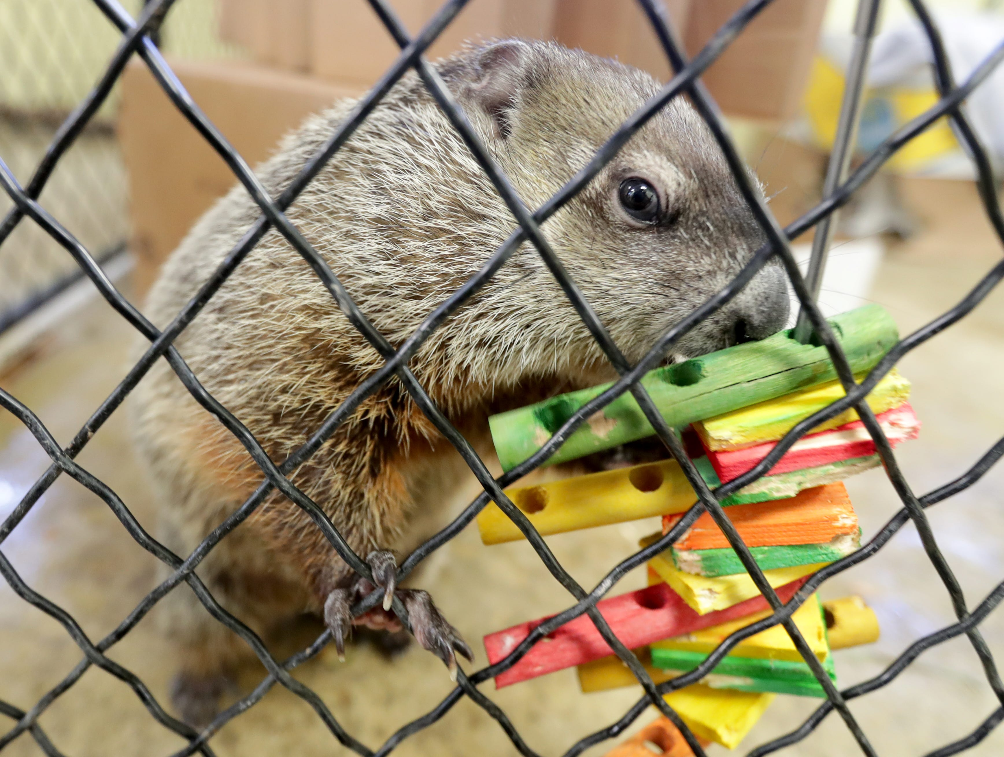 Gordy the groundhog explores some wooden toys.
