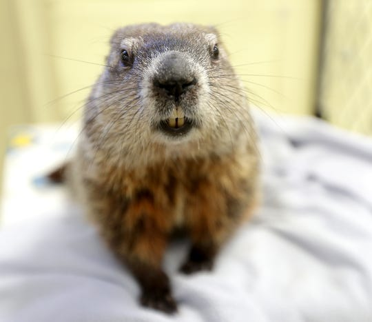 Gordy the groundhog at the Milwaukee County Zoo.