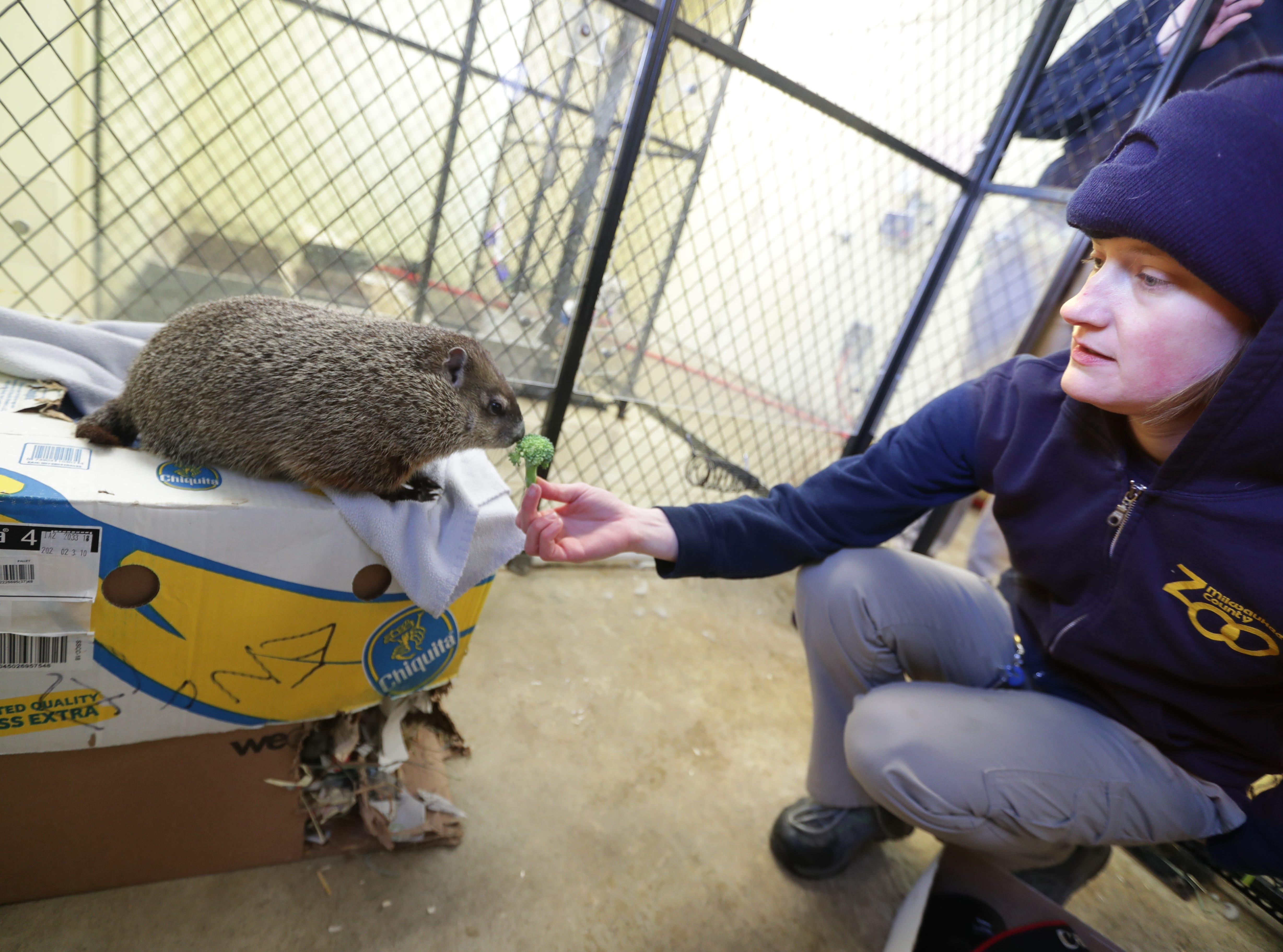 Gordy the groundhog gets a broccoli snack from Bridget Carpenter, a zookeeper in the Family Farm area of the Milwaukee County Zoo. Gordy, the zoo's new groundhog, will make his debut at the zoo's Groundhog Day ceremonySaturday.