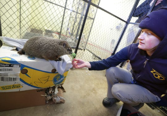 Gordy the groundhog gets a broccoli snack from Bridget Carpenter, a zookeeper in the Family Farm area of the Milwaukee County Zoo. Gordy, the zoo's new groundhog, will make his debut at the zoo's Groundhog Day ceremony Saturday.