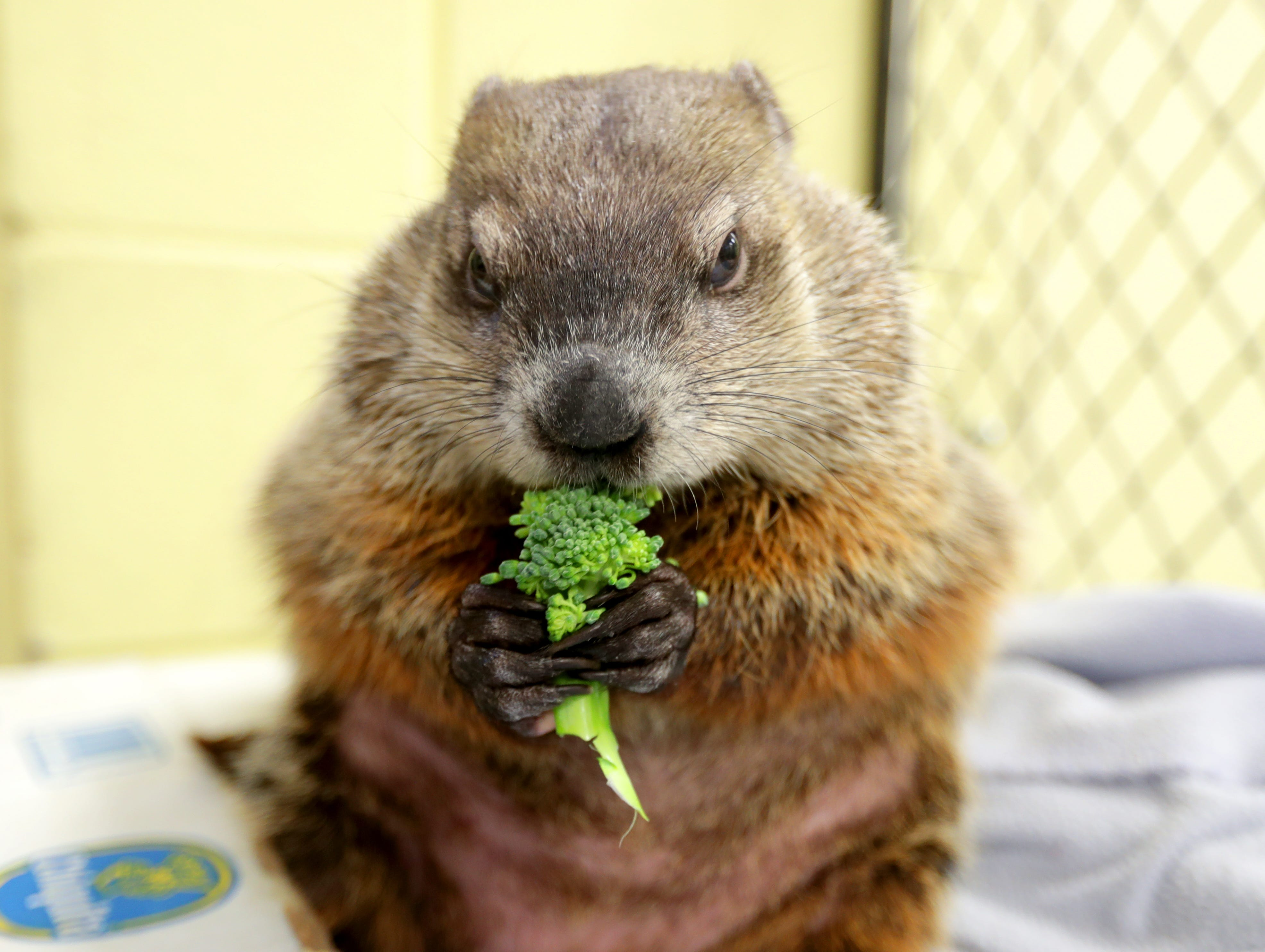 Gordy the groundhog munches broccoli  in the Family Farm area at the Milwaukee County Zoo on Tuesday.