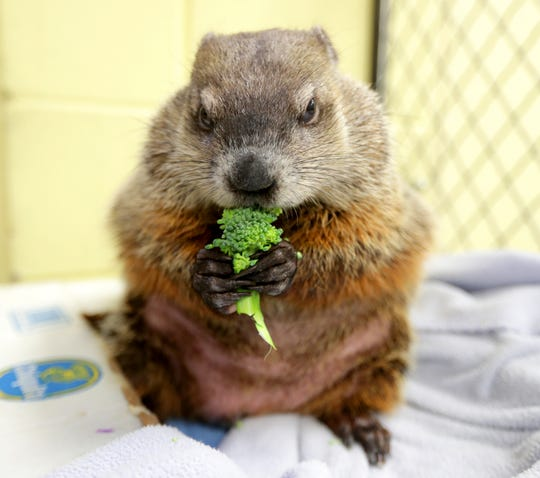 Gordy the groundhog munches on his broccoli snack in the Family Farm area at the Milwaukee County Zoo Tuesday.