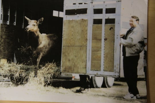 Gov. Tommy Thompson, right, holds a trailer gate open as an elk emerges during the 1995 reintroduction of the native species near Clam Lake, Wisconsin. Bernie Lemon of New Berlin, invited to join the governor at the milestone due to his significant role in fundraising for the project, is in the center of the frame, mostly obscured by the gate.
