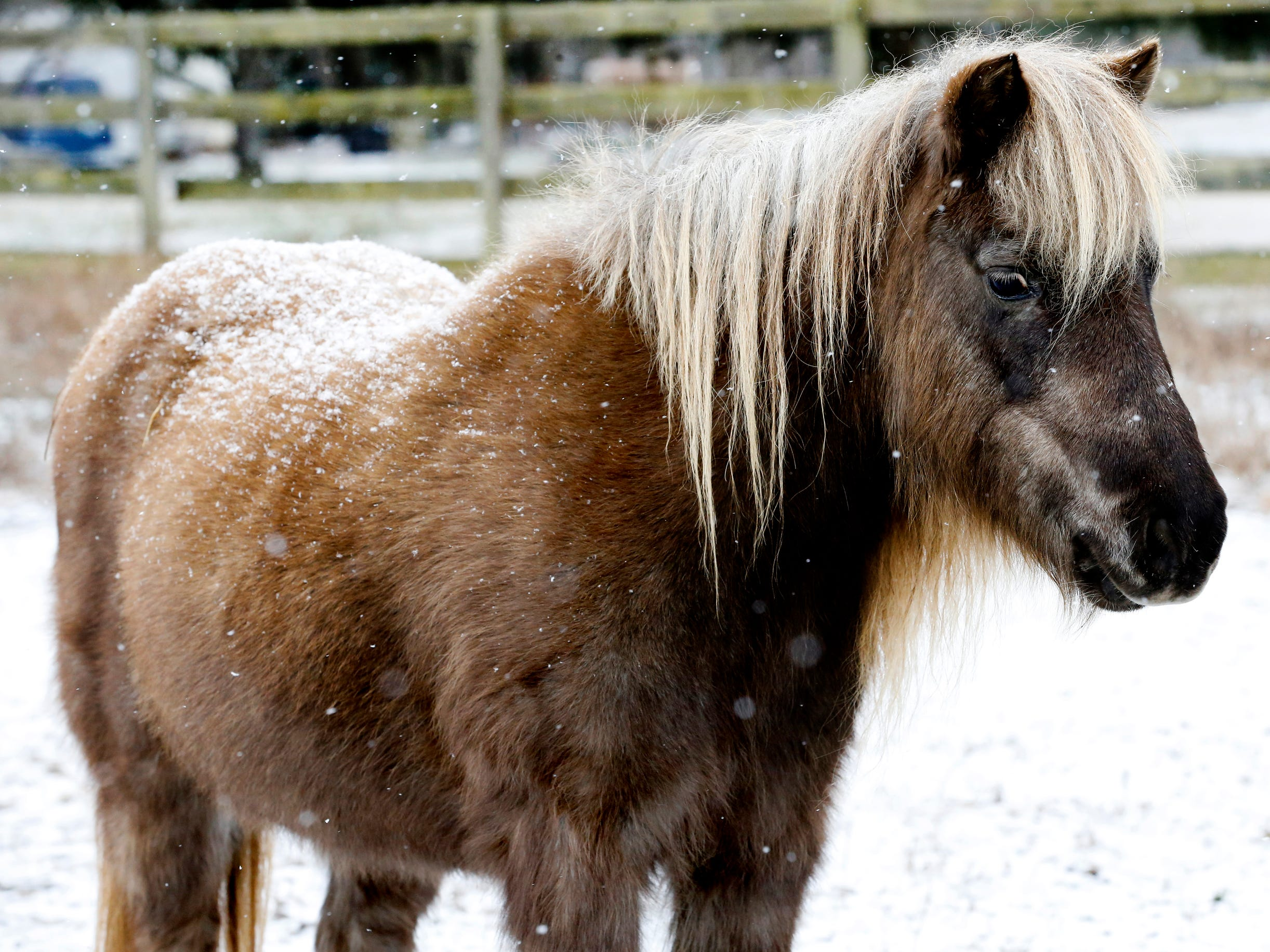 A miniature horse watches the snow fall around him near Barfield Crescent Park on Wednesday morning, Jan. 30, 2019.