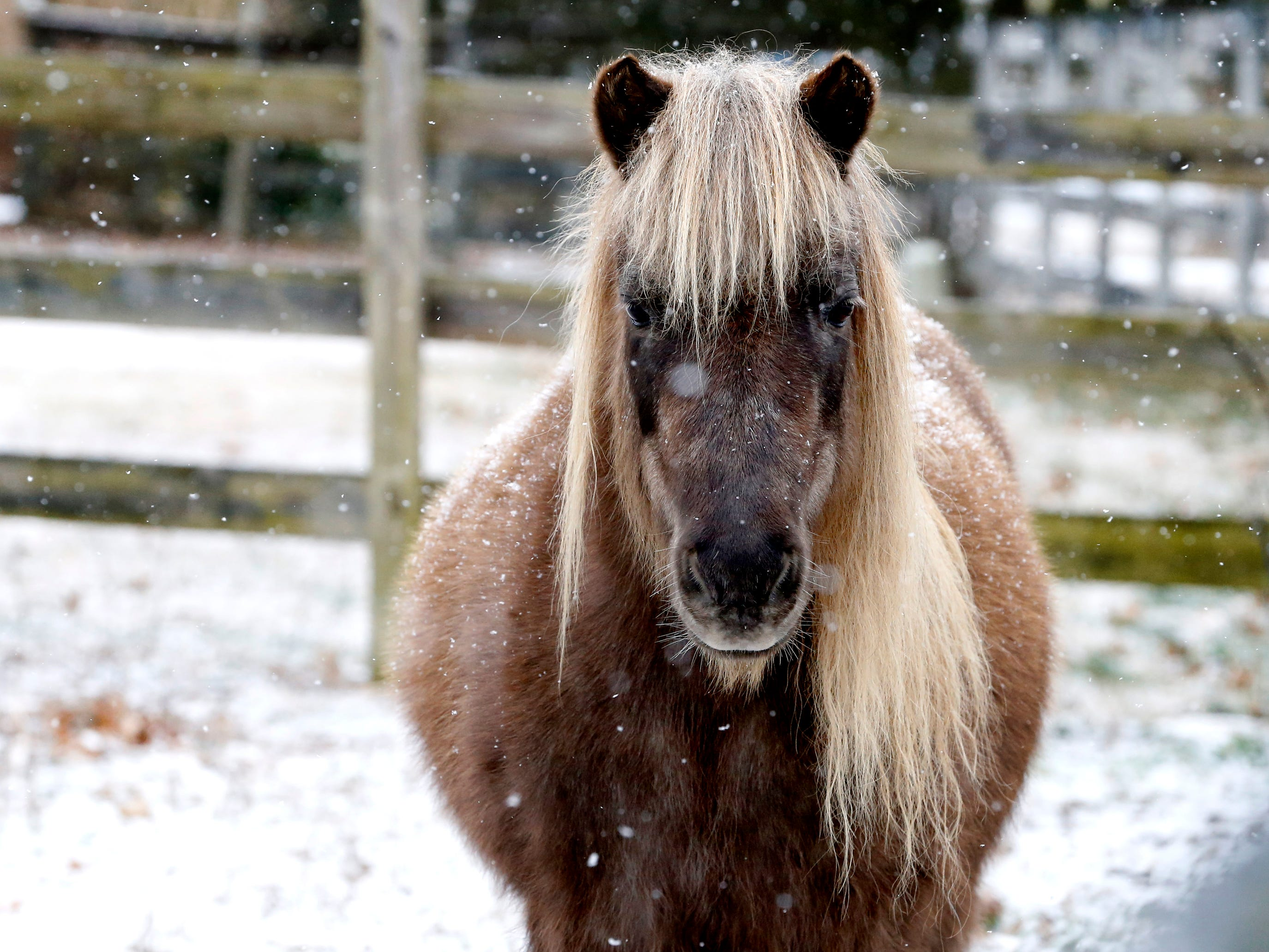 A pony watches the snow fall around him near Barfield Crescent Park on Wednesday morning, Jan. 30, 2019.